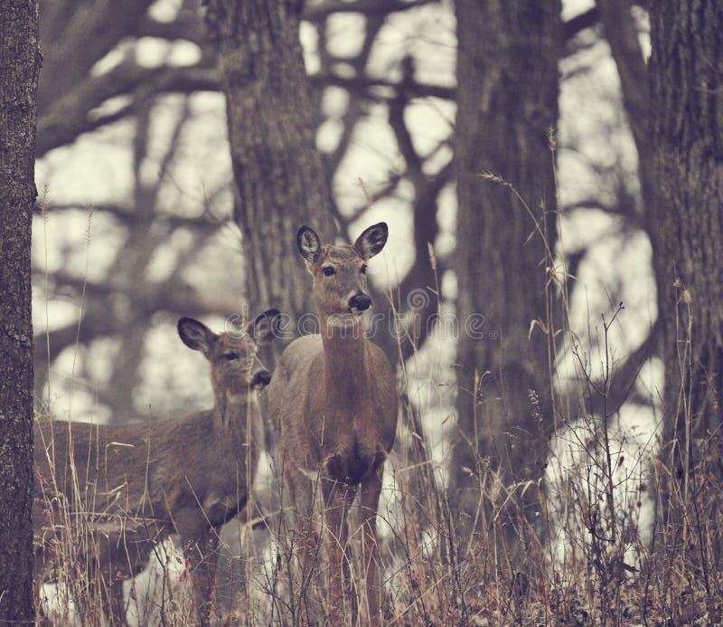 Deux cerfs communs regardant au côté dans la forêt pendant l'hiver images libres de droits