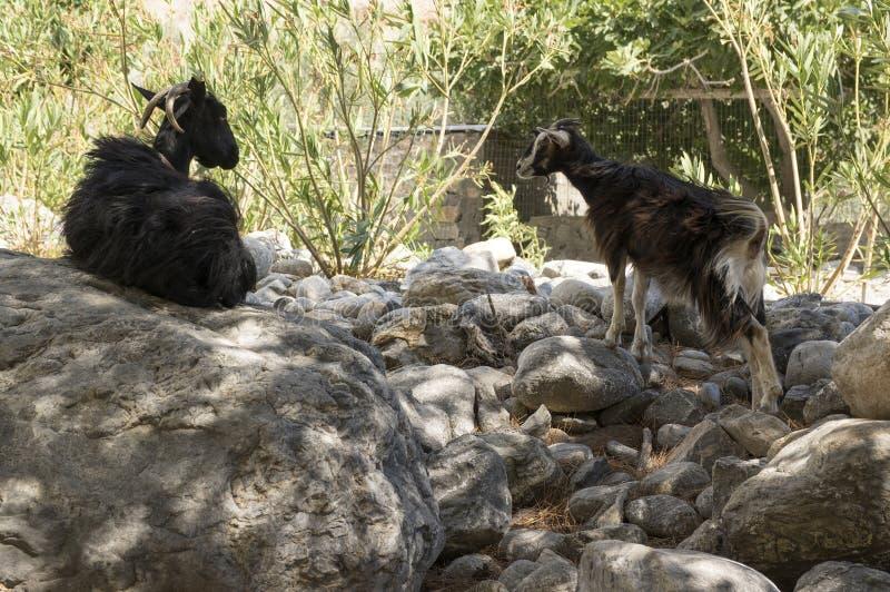 Deux chèvres crétoises noires mère et parler d'enfant image stock