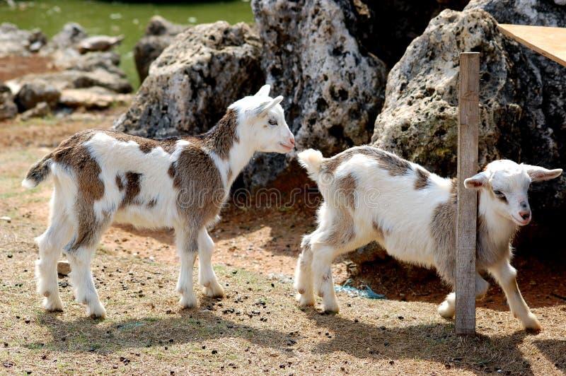 Deux chèvres de chéri images libres de droits