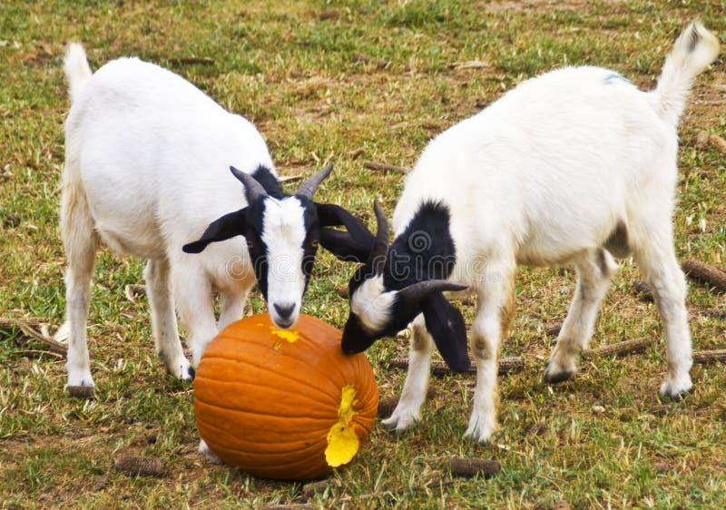 Deux chèvres et un potiron, image libre de droits
