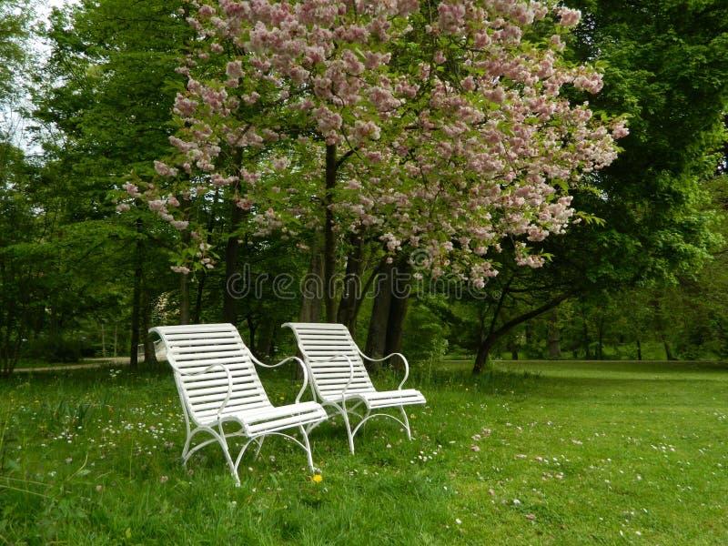 Deux chaises blanches en parc de fleurs de cerisier photos libres de droits
