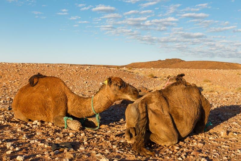 deux chameaux dans le d sert photo stock image du safari morocco 64411686. Black Bedroom Furniture Sets. Home Design Ideas