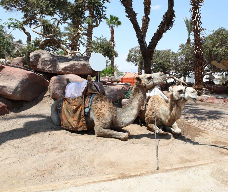 Deux chameaux dans le Moyen-Orient photo libre de droits