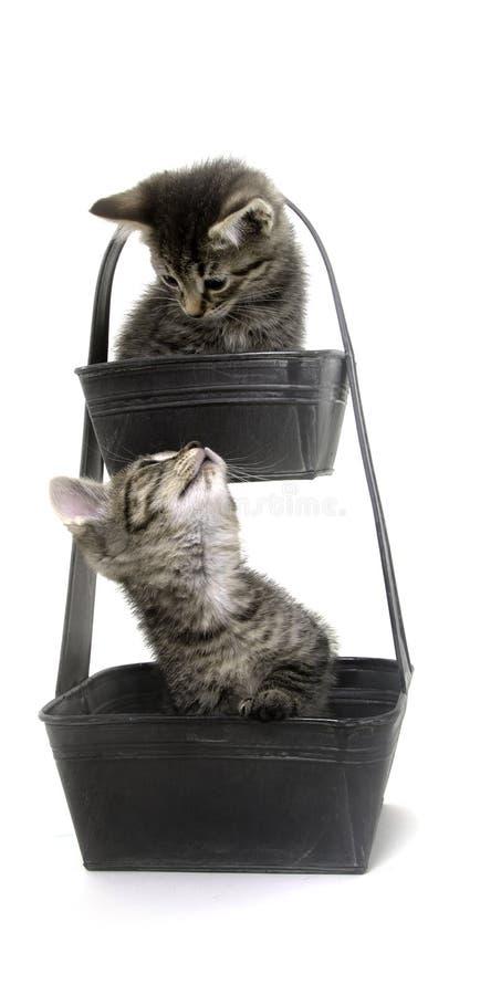 Deux chatons mignons de tabby dans le bac de fleur photo libre de droits