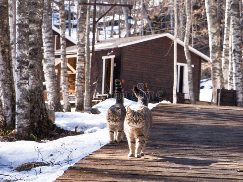 Deux chats amicaux sont sur le chemin de jaillir photo libre de droits