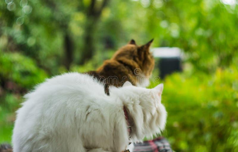 Deux chats blanc et couleur image stock