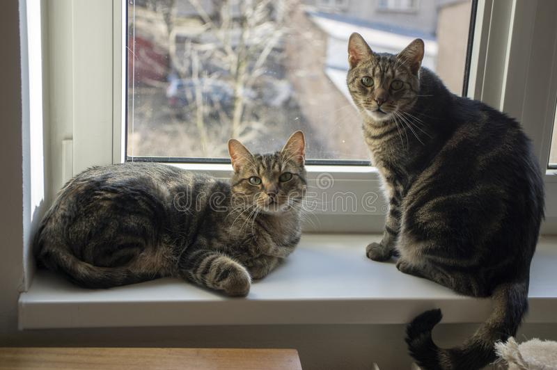 Deux chats de marbre domestiques, contact visuel, visage drôle mignon de minou, chaux étonnante observe image stock