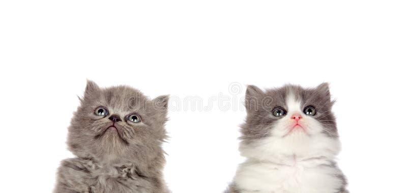 Deux chats gris drôles image libre de droits