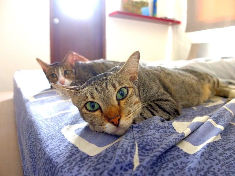 Deux chats mentant sur le visage de lit à l'avant en Sunny Window Light photo libre de droits