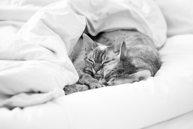 Deux chats mignons de Devon Rex dormant ensemble dans le lit sous la couverture photos libres de droits