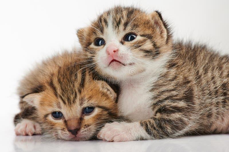 Deux chats mignons de minou photographie stock libre de droits