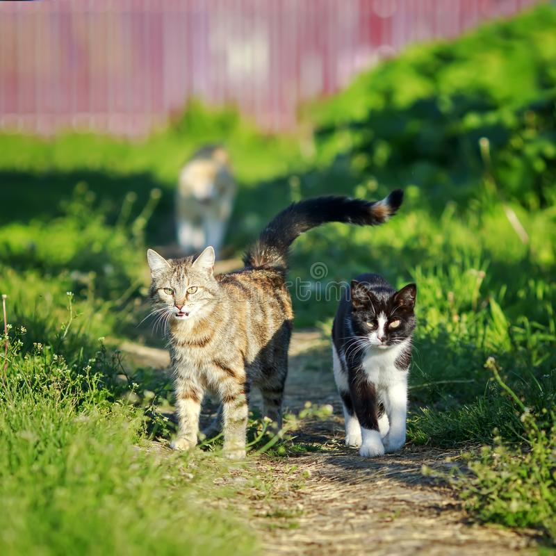 Deux chats mignons drôles marchant le long du chemin au printemps ensoleillé photographie stock libre de droits