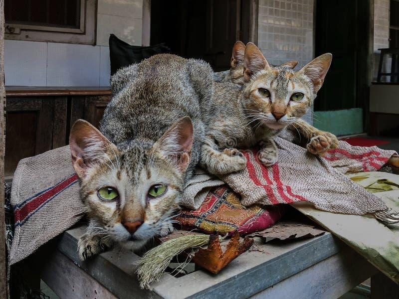 Deux chats regardant à la caméra avec l'oeil attentif photographie stock