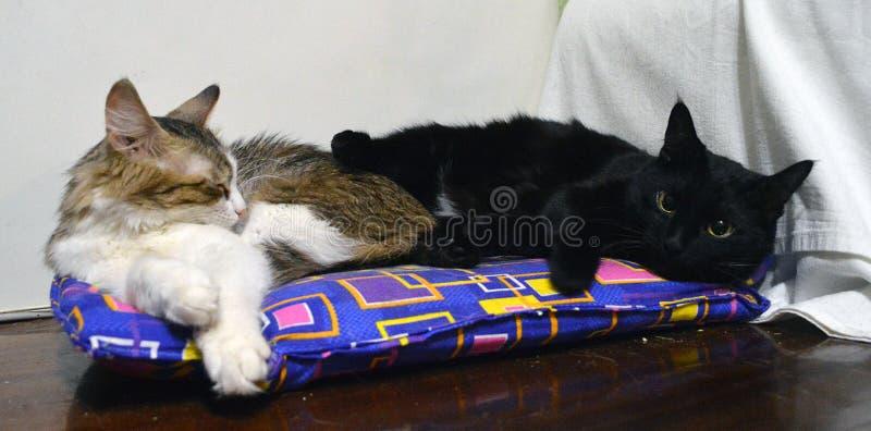 Deux chats se trouvent sur un lit pliant bleu, sur un fond blanc image libre de droits