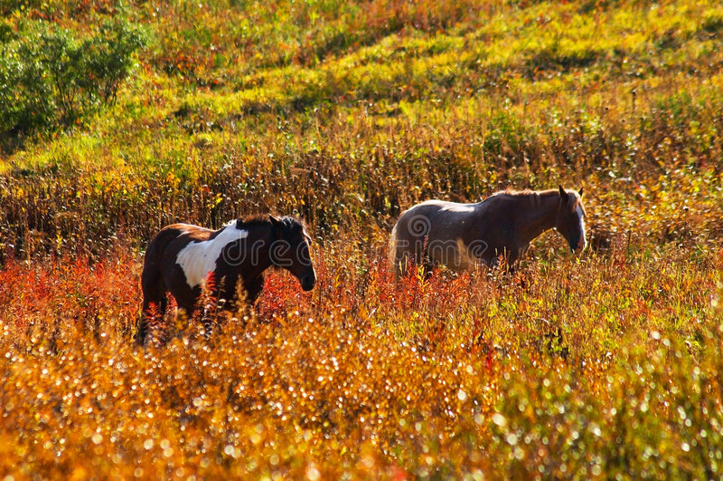 Deux chevaux. image stock