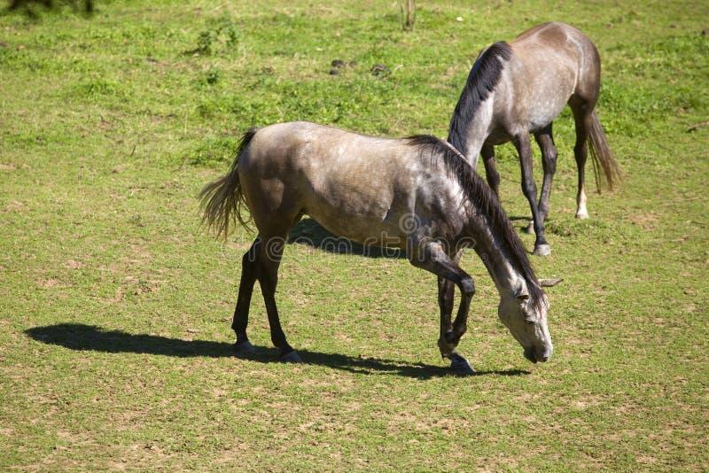 Download Deux chevaux photo stock. Image du été, herbe, pâturage - 87702662