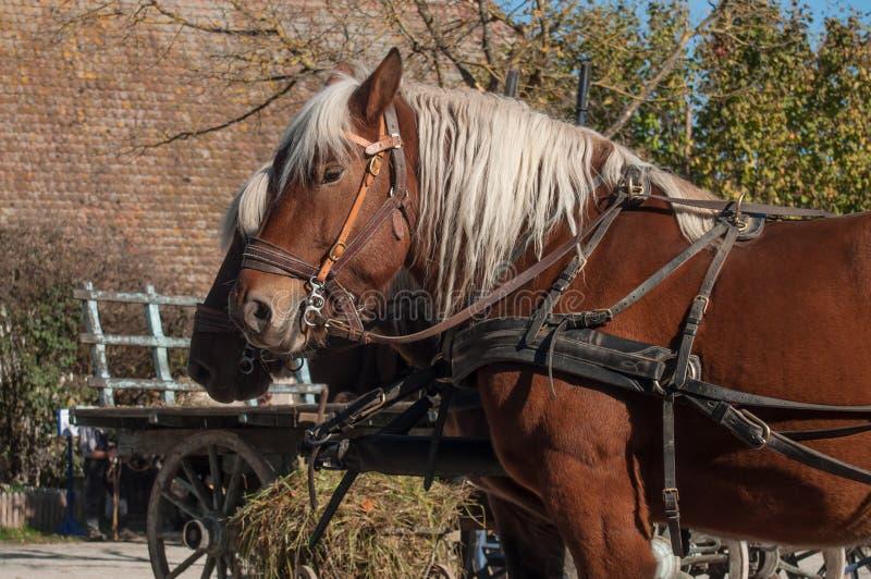 deux chevaux accrochés à un chariot dans le village alsacien images libres de droits
