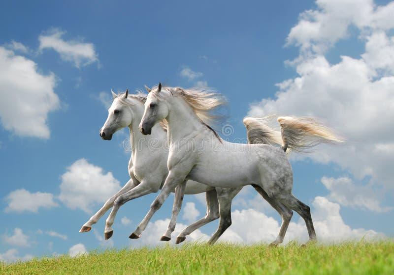 Deux chevaux arabes blancs dans le domaine photographie stock
