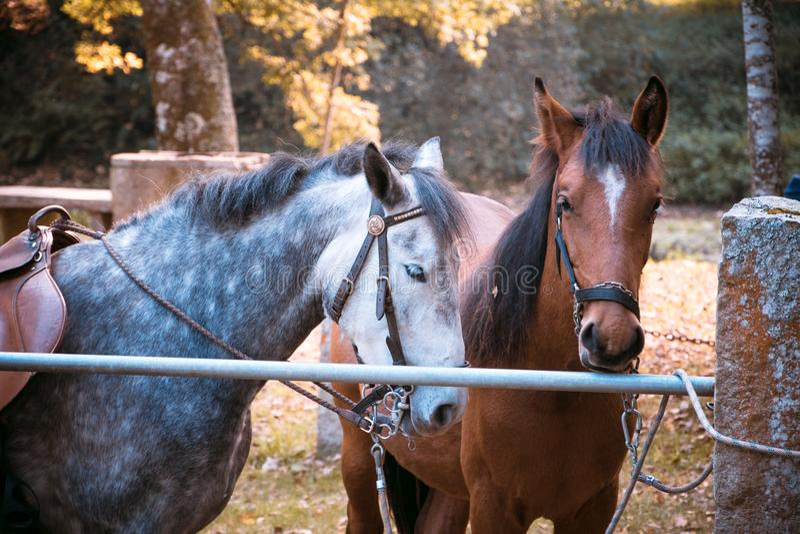 Deux chevaux attendant pour monter images libres de droits