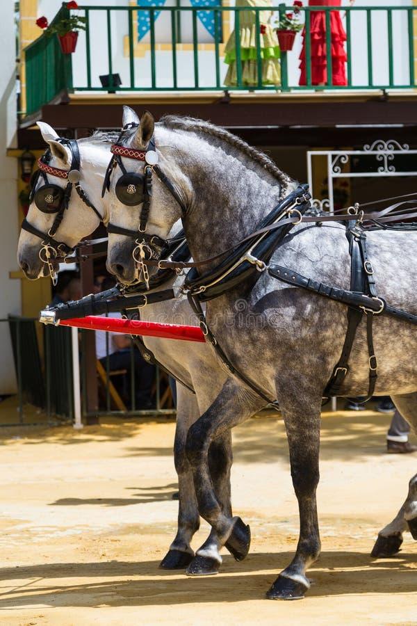 Deux chevaux blancs avec les corrections noires photographie stock
