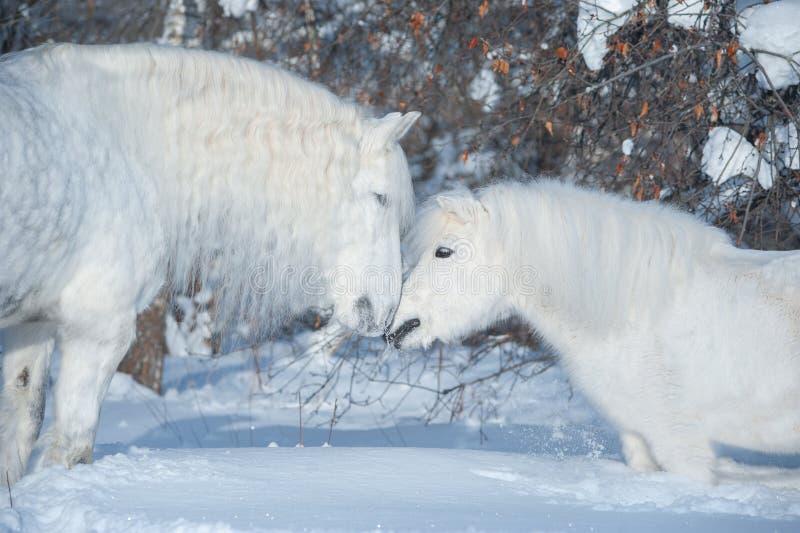 Deux chevaux blancs embrassant à l'arrière-plan d'hiver photos stock