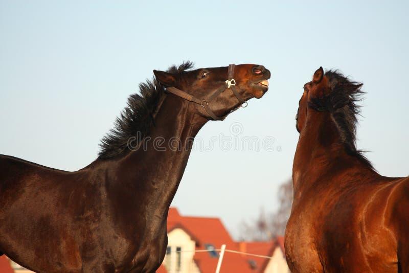 Deux chevaux bruns combattant par espièglerie photos stock