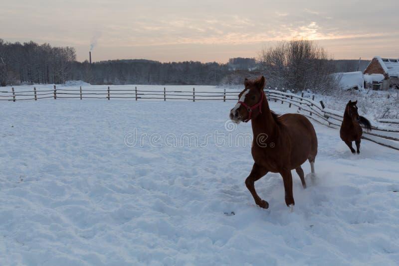 Deux chevaux bruns fonctionnant dans le domaine de neige photographie stock