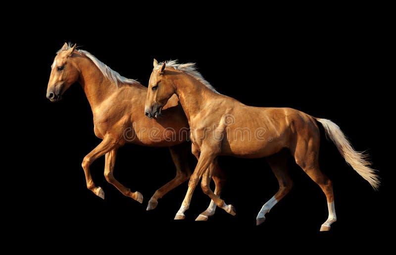 Deux chevaux d'or d'akhal-teke d'isolement sur le fond noir images stock