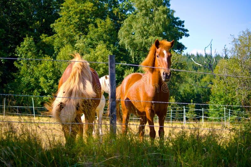 Deux chevaux de l'Islande sur un pâturage en Bavière, Allemagne photo libre de droits