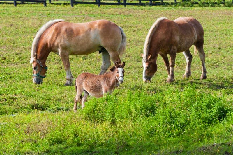 Deux chevaux de trait bruns et un cheval miniature sur la terre de ferme photographie stock