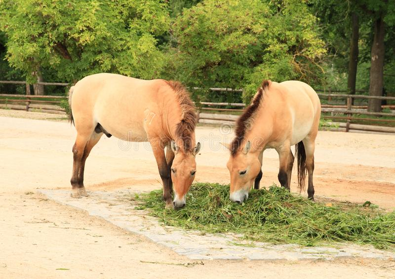 Deux chevaux du ` s de Przewalski photographie stock