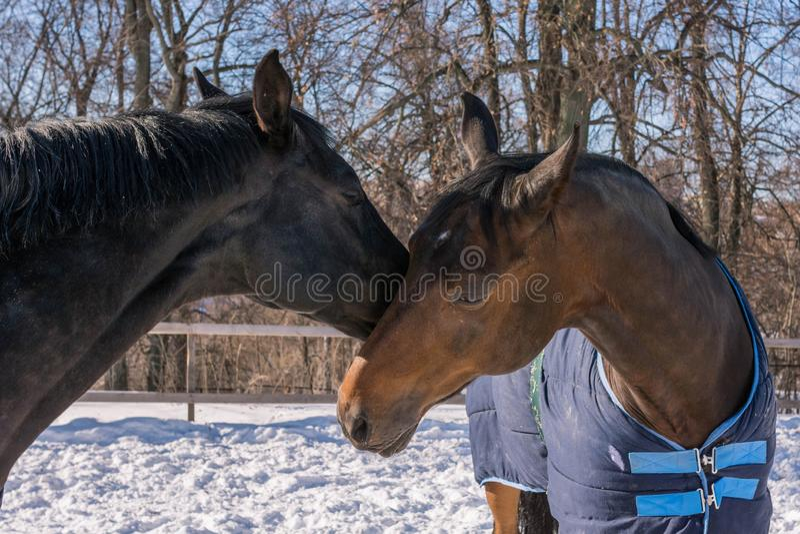 Deux chevaux embrassant un jour d'hiver photographie stock