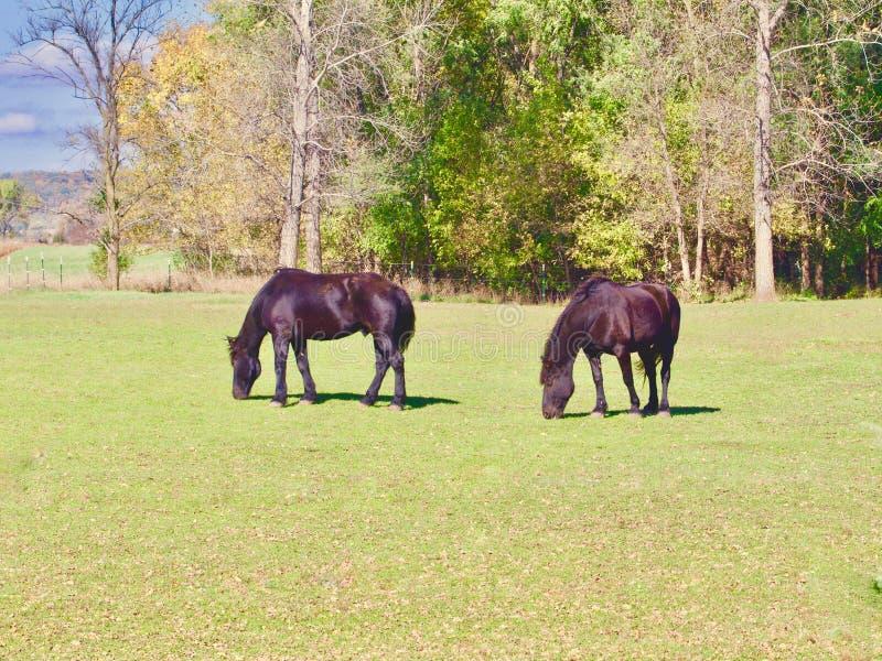 Deux chevaux foncés photos libres de droits