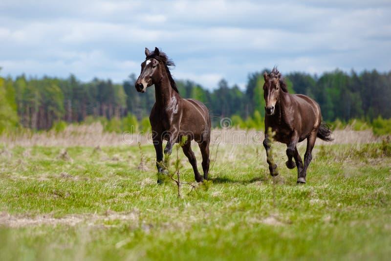 Deux chevaux fonctionnant sur un champ photos libres de droits