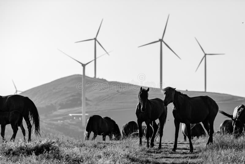 Deux chevaux jouent, partie du troupeau, en noir et blanc photos libres de droits