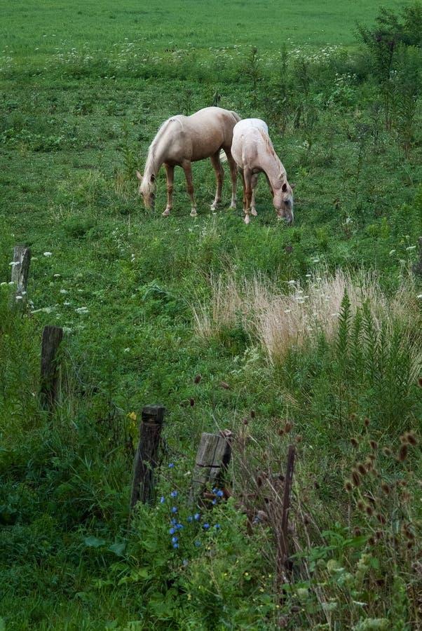 Deux chevaux pâles dans un domaine photographie stock