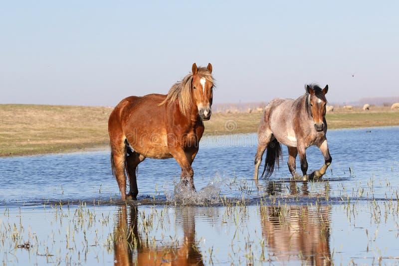 Deux chevaux sauvages troat par l'eau photos stock