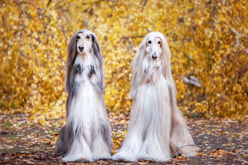 Deux chiens, beaux lévriers afghans image libre de droits