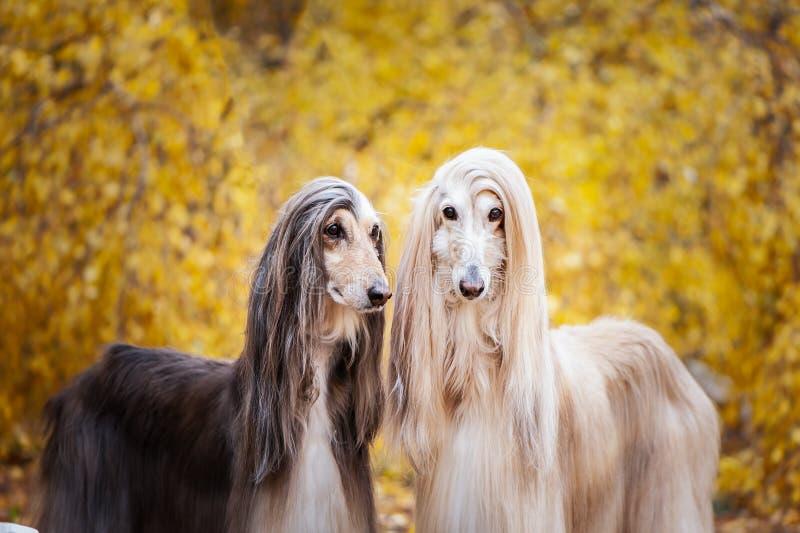 Deux chiens, beaux lévriers afghans, portrait photos libres de droits