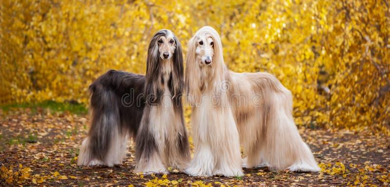 Deux chiens, beaux l?vriers afghans photos stock