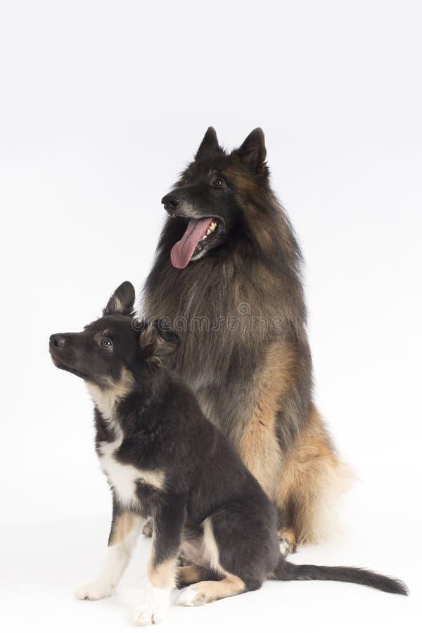 Deux chiens, chiot et adulte, s'asseyant sur le fond blanc de studio photos libres de droits