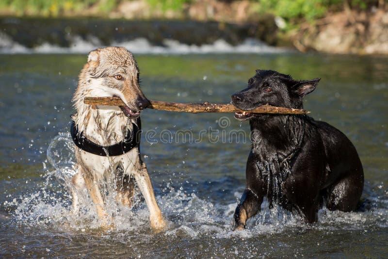 Deux chiens dans l'eau contestant pour une branche images libres de droits