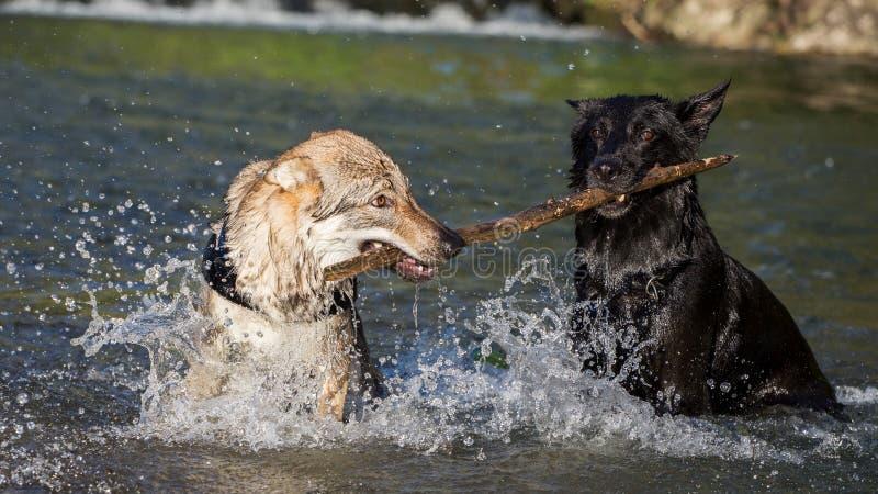 Deux chiens dans l'eau contestant une branche photographie stock libre de droits