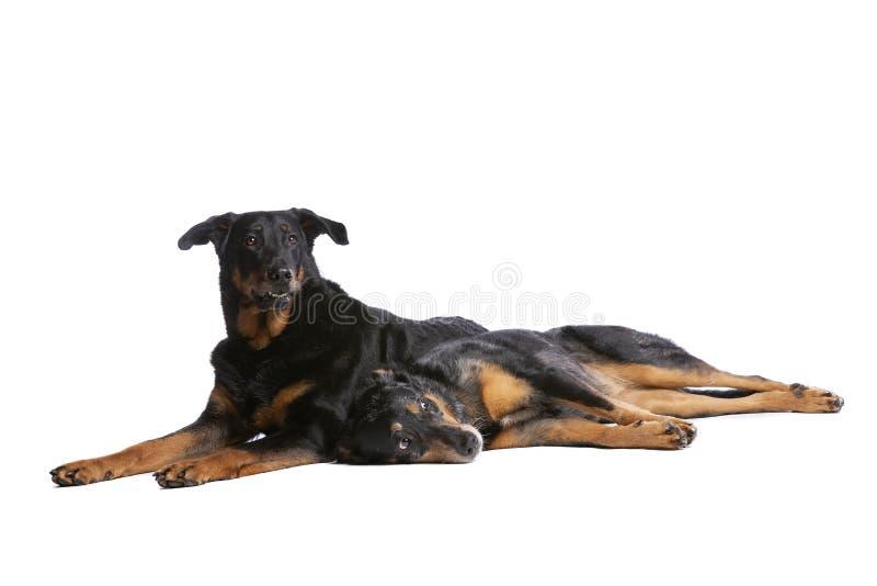 Deux chiens de Beauceron images libres de droits