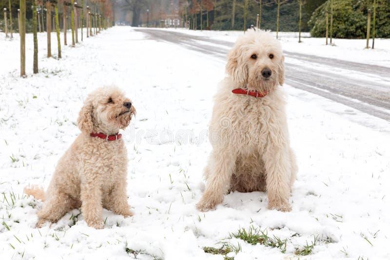 Deux chiens de caniche se reposant ensemble dans la neige photo stock