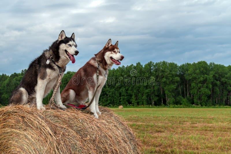 Deux chiens de chien de traîneau sibérien se reposent sur une meule de foin dans la perspective d'un champ, d'une forêt et d'un c images libres de droits