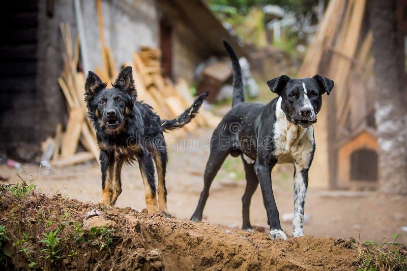 Deux chiens de garde fâchés photographie stock libre de droits