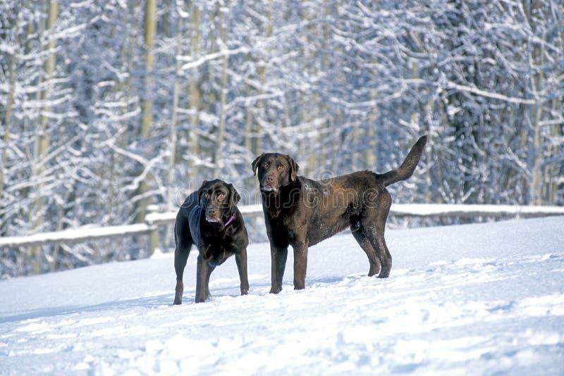 Deux chiens de labrador retriever jouant ensemble dans la neige photo libre de droits