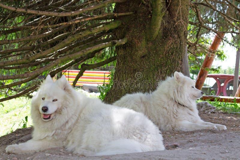 Deux chiens de Samoyed se situant dans l'ombre photos libres de droits