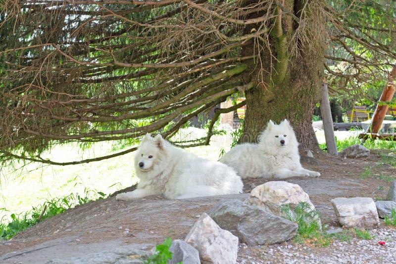 Deux chiens de Samoyed se situant dans l'ombre photo stock